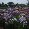 東総学園 あさひ学友会地域活動部会の花菖蒲のチャリティーイベントの写真